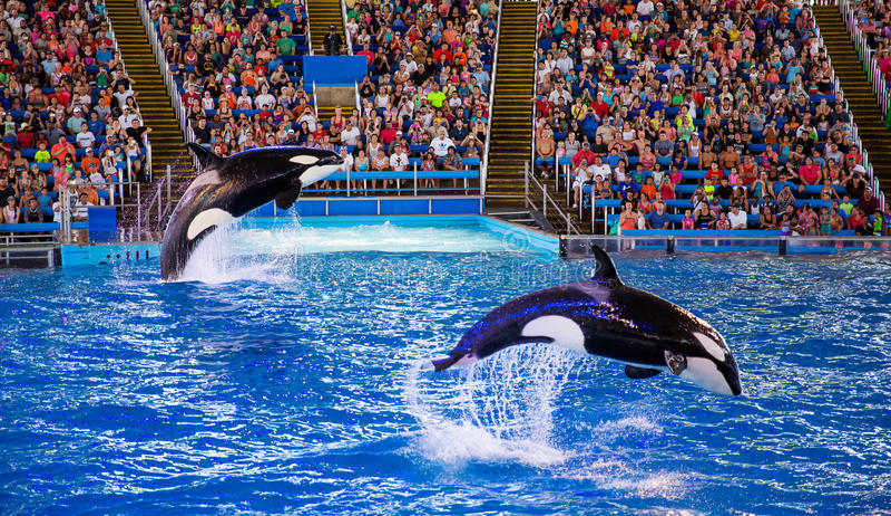esecuzione delle orche immagine stock