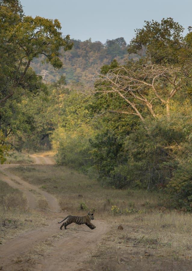 Eseguendo il cucciolo di tigre ed il suo habitat a Tadoba Andhari Tiger Reserve, Chandrapur, maharashtra, India immagine stock libera da diritti