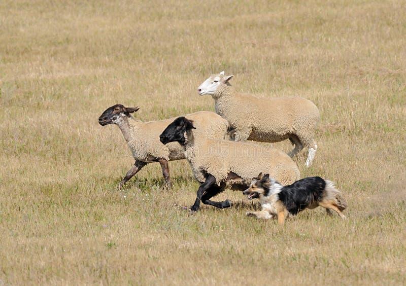 Eseguendo le pecore (aries di Ovus) immagine stock