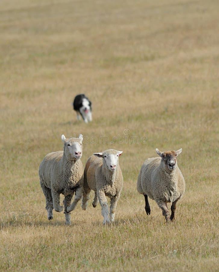 Eseguendo le pecore (aries di Ovus) dentro fotografie stock