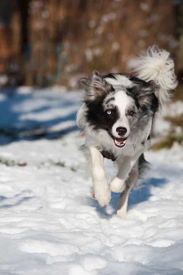 Eseguire border collie nella neve fotografie stock
