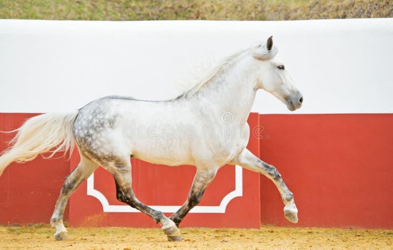 Eseguire stallone andaluso bianco nell'arena del toro fotografie stock