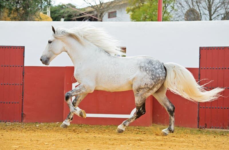 Eseguire stallone andaluso bianco nell'arena del toro fotografia stock libera da diritti