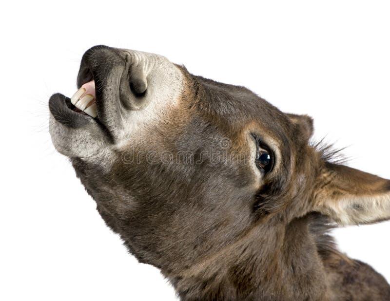 Esel (4 Jahre) stockfotografie