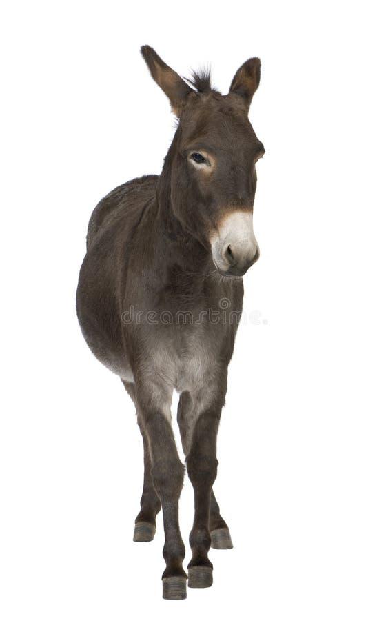 Esel (4 Jahre) lizenzfreies stockfoto