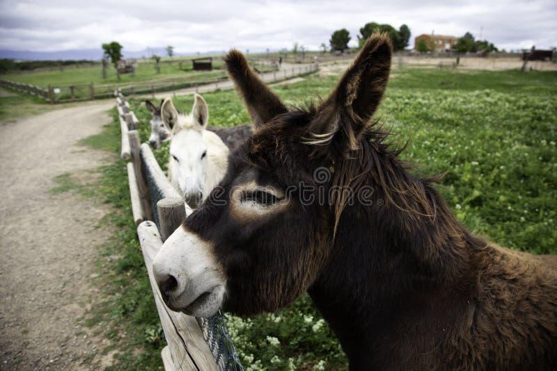 Esel auf Bauernhof lizenzfreies stockbild