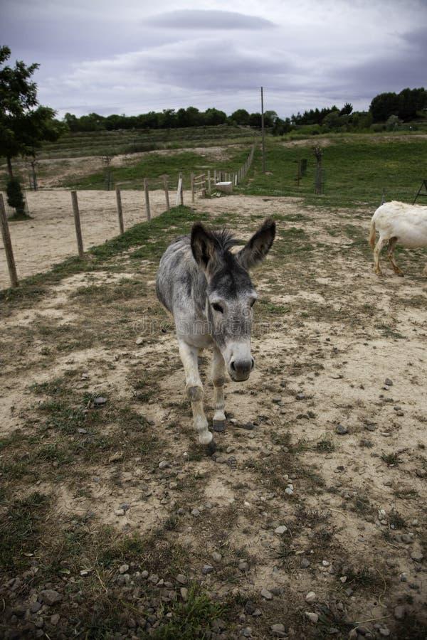 Esel auf Bauernhof stockfoto