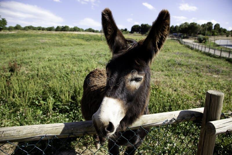 Esel auf Bauernhof stockbild