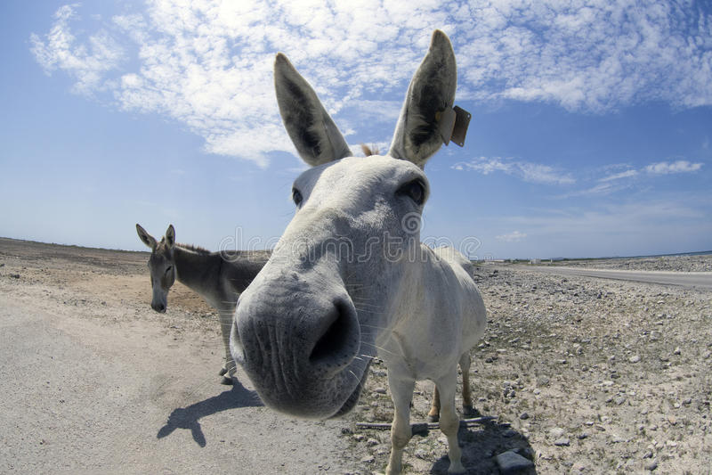 Esel auf Bonaire stockbilder