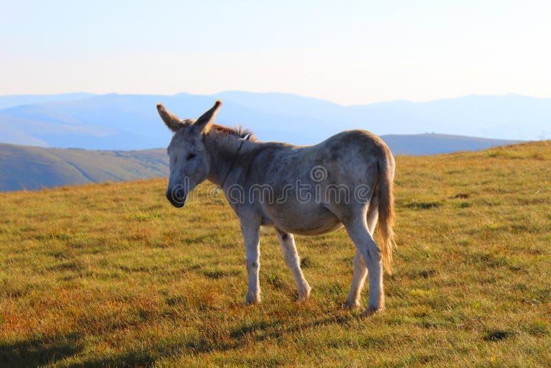 Esel auf dem Berg stockfotos