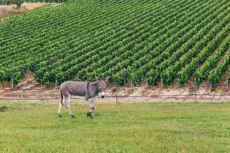 Esel auf dem Feld stockfotos