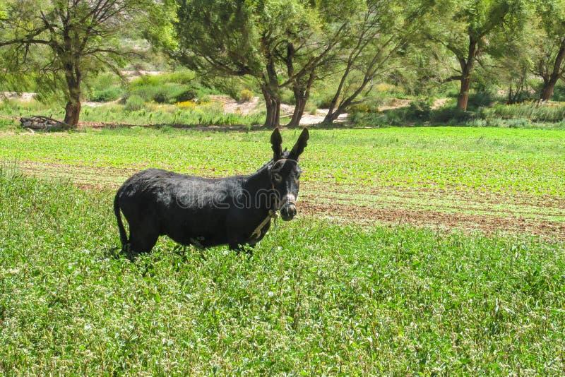 Esel auf dem Gebiet lizenzfreie stockbilder