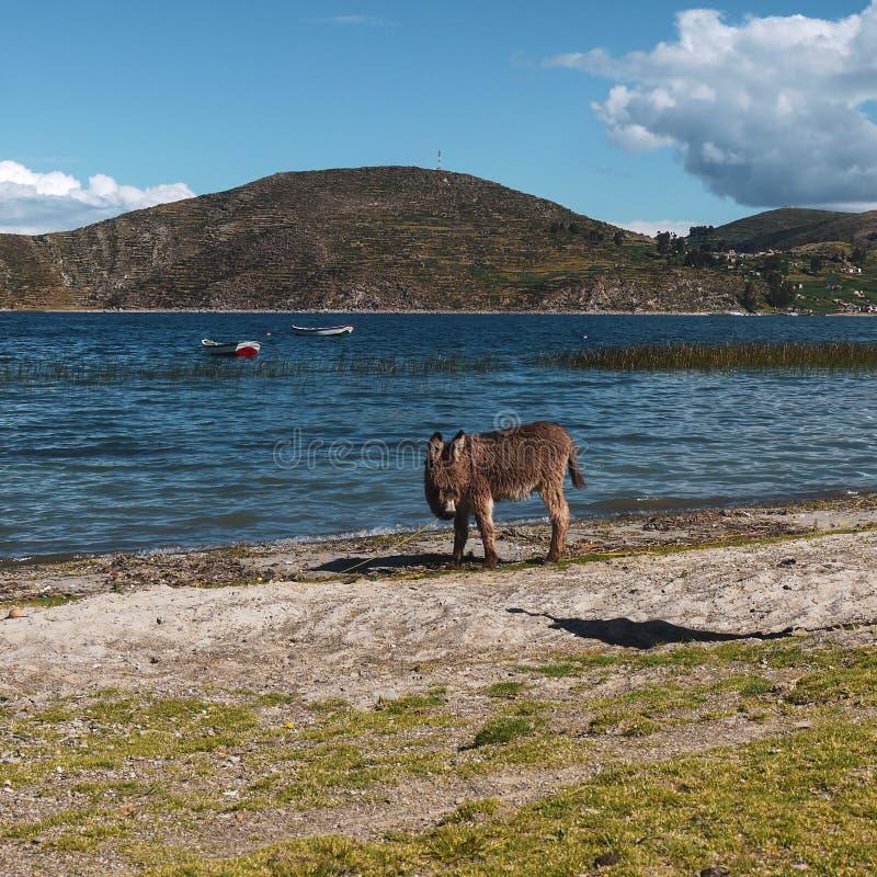 Esel auf einem Gebiet von Salar de Uyuni in Bolivien stockfoto