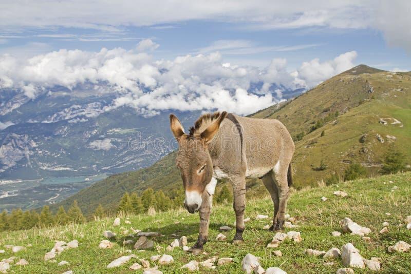 Esel auf einer Bergwiese in Trentino lizenzfreie stockfotografie