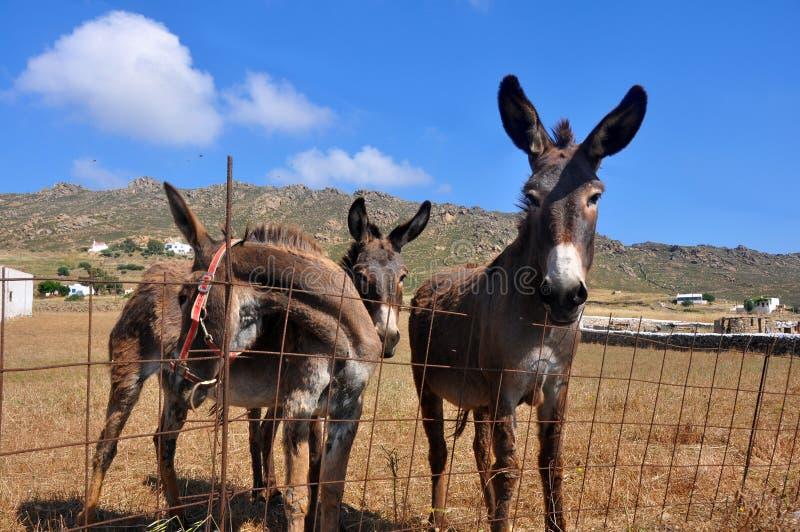 3 Esel auf griechischen Insel mykonos lizenzfreies stockfoto