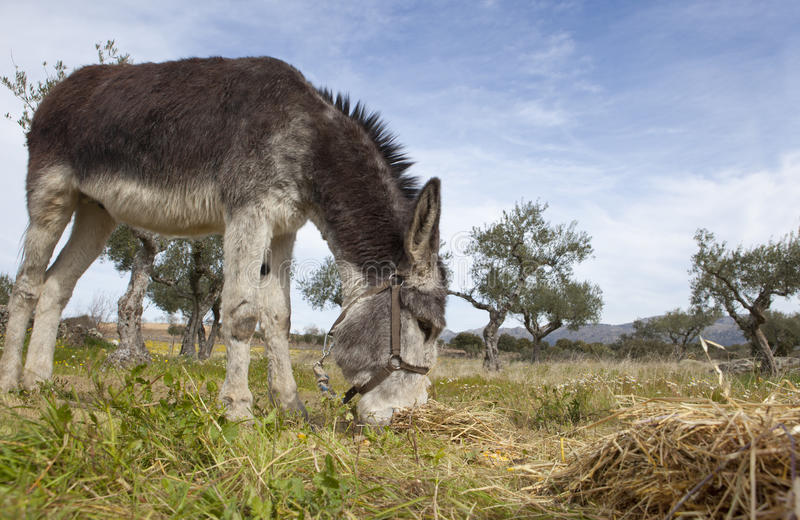 Esel, der Nahaufnahme weiden lässt lizenzfreies stockfoto