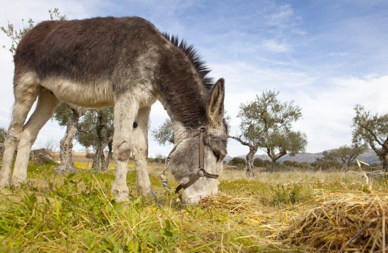 Esel, der Nahaufnahme weiden lässt lizenzfreie stockfotografie