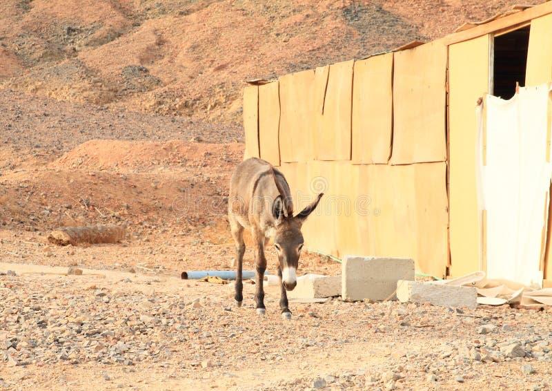 Esel in der Wüste in Marsa Alam stockbild