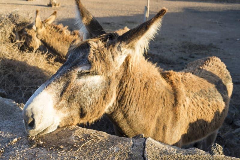Esel in der warmen Sonne des späten Abends suchend, gestreichelt zu erhalten stockfotos