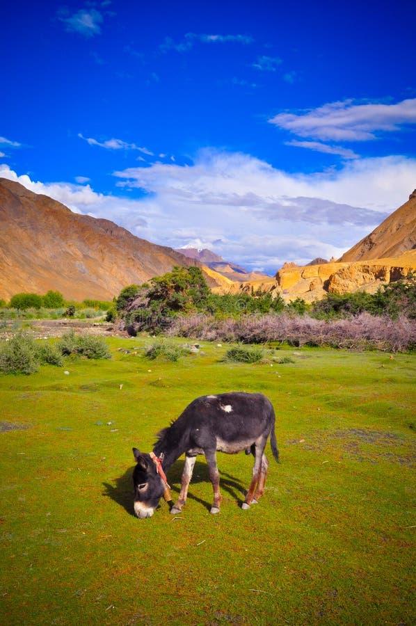 Esel im Markha-Tal stockfotografie
