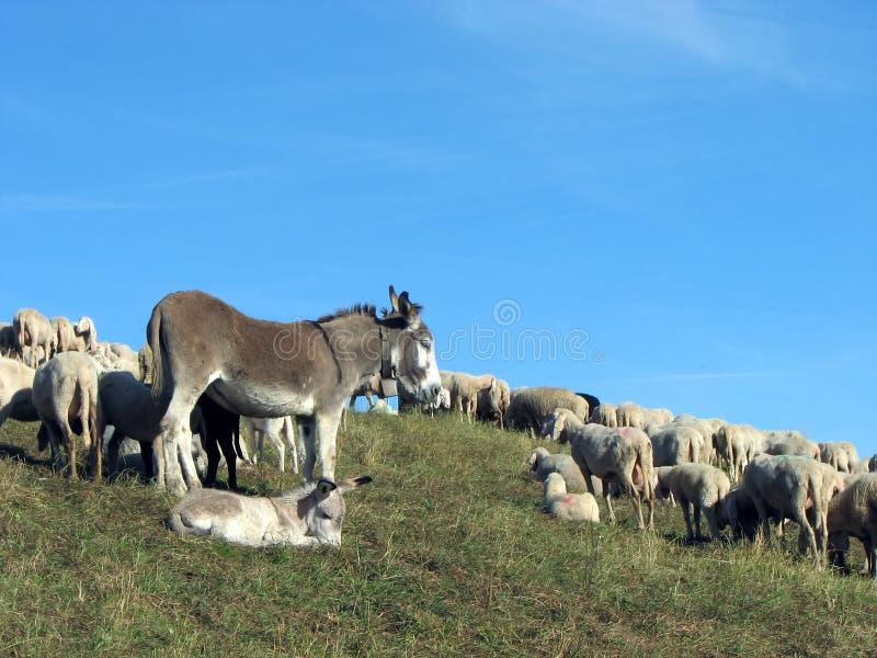 Esel mit der Schafherde zum weiden zu lassen lizenzfreie stockbilder