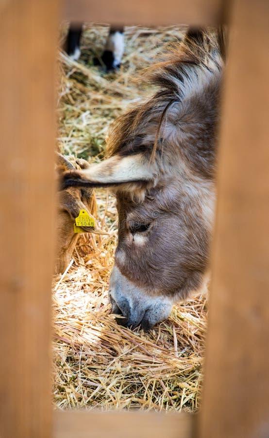 EselHauptessen gesehen durch Bretterzaun lizenzfreie stockfotografie