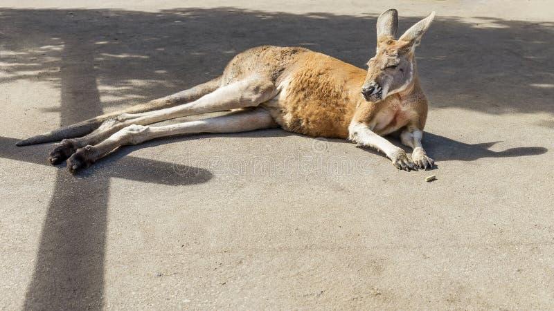 Esempio meraviglioso del canguro australiano che si trova al sole fotografia stock libera da diritti