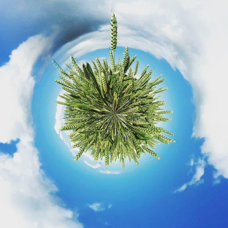 Esfera abstrata de trigo verde imagem de stock
