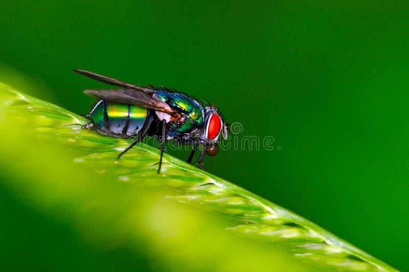 Esfera do cuspo da mosca da casa fotos de stock