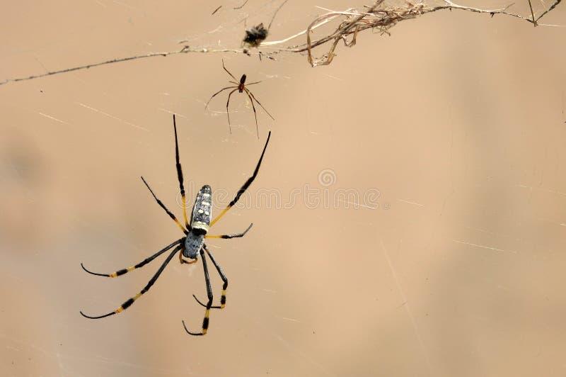 Esfera-tecelão de seda dourado (aranha) (clavipes de Nephila) fotos de stock royalty free