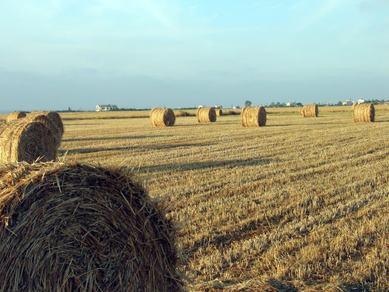 Esferas do trigo imagens de stock