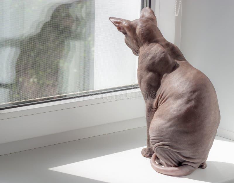 Esfinge calma bonita do gato do crânio que senta-se em um fundo claro imagens de stock royalty free