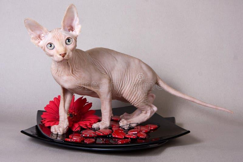 Esfinge calva do gatinho imagem de stock royalty free