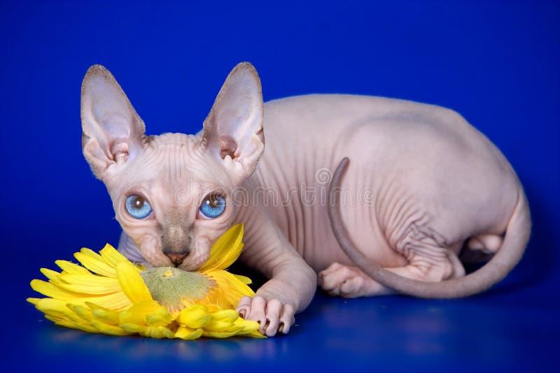 Esfinge calva do gatinho fotografia de stock royalty free