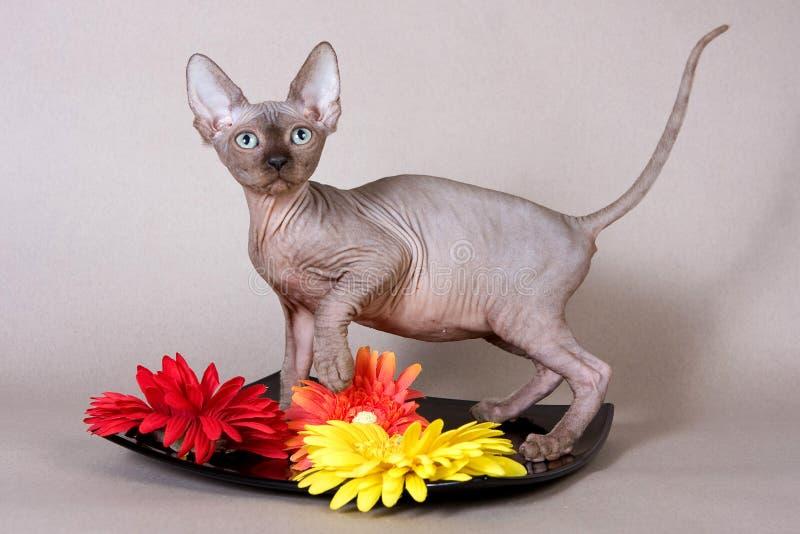 Esfinge calva do gatinho e gerbera vermelho imagens de stock royalty free