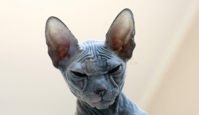 Esfinge calva do gato com enrugamentos e dobras Retrato fotografia de stock royalty free