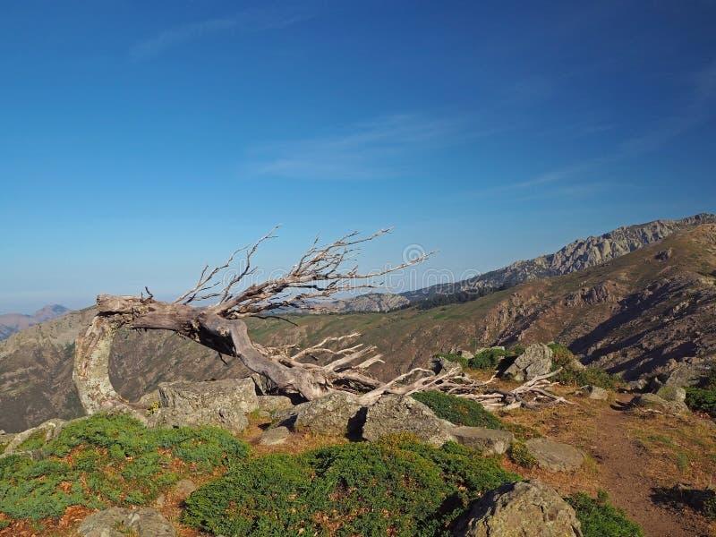 Esfregue o pinheiro seco dobrado fazendo uma janela contra o céu azul em um fundo ajardinar montanhas corsician foto de stock