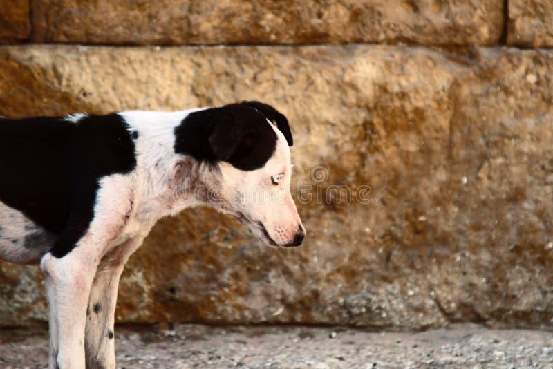 Esgotado pela fome do cão disperso imagens de stock royalty free