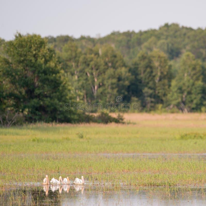 Eskader van Amerikaanse witte pelikanen die op het water tijdens de zomer in het Crex-Gebied van het Weidenwild rusten - hoofdzak royalty-vrije stock fotografie