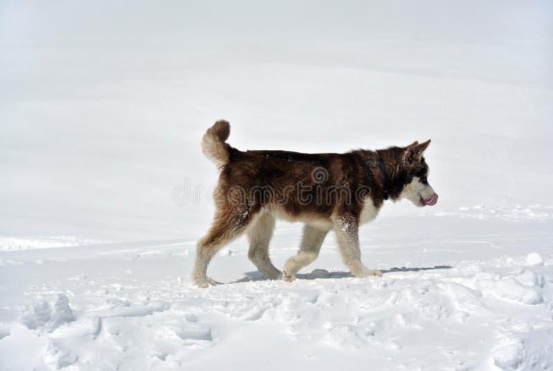 Eskimo dog on Elbrus royalty free stock photo