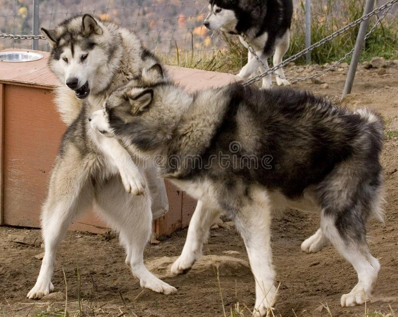 Eskimo Dogs stock photos