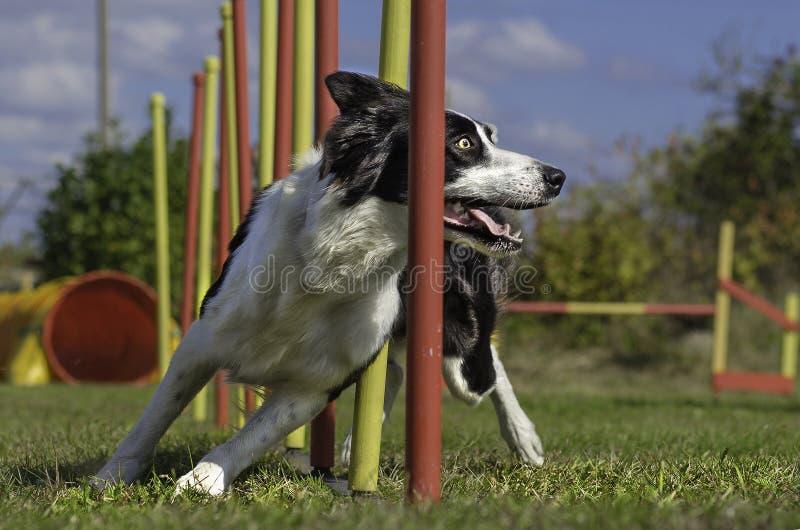 Eslalom de la agilidad del perro foto de archivo