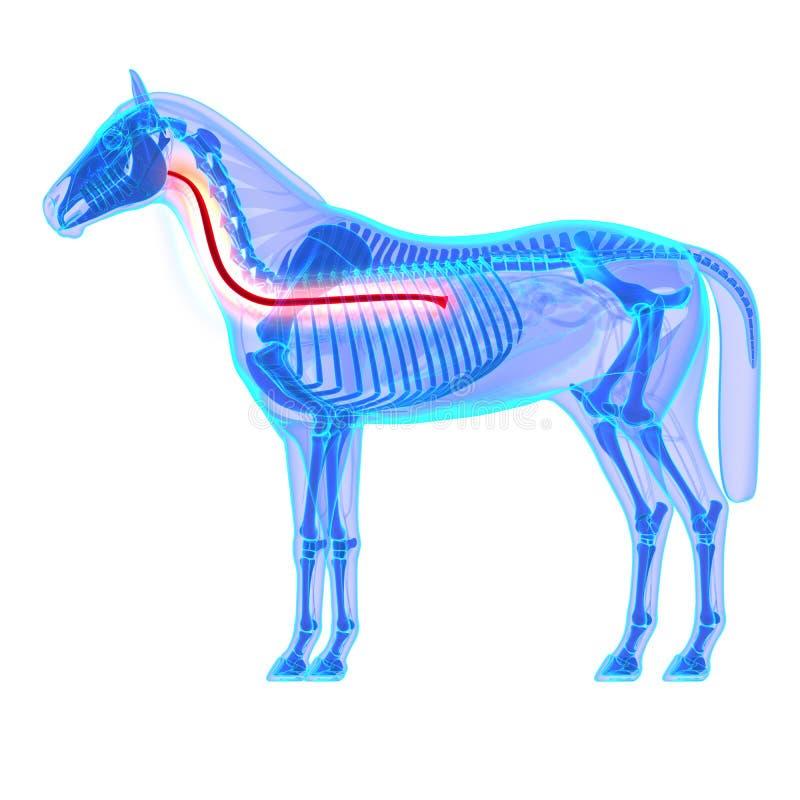 Esophagus лошади - анатомия Equus лошади - изолированный на белизне бесплатная иллюстрация