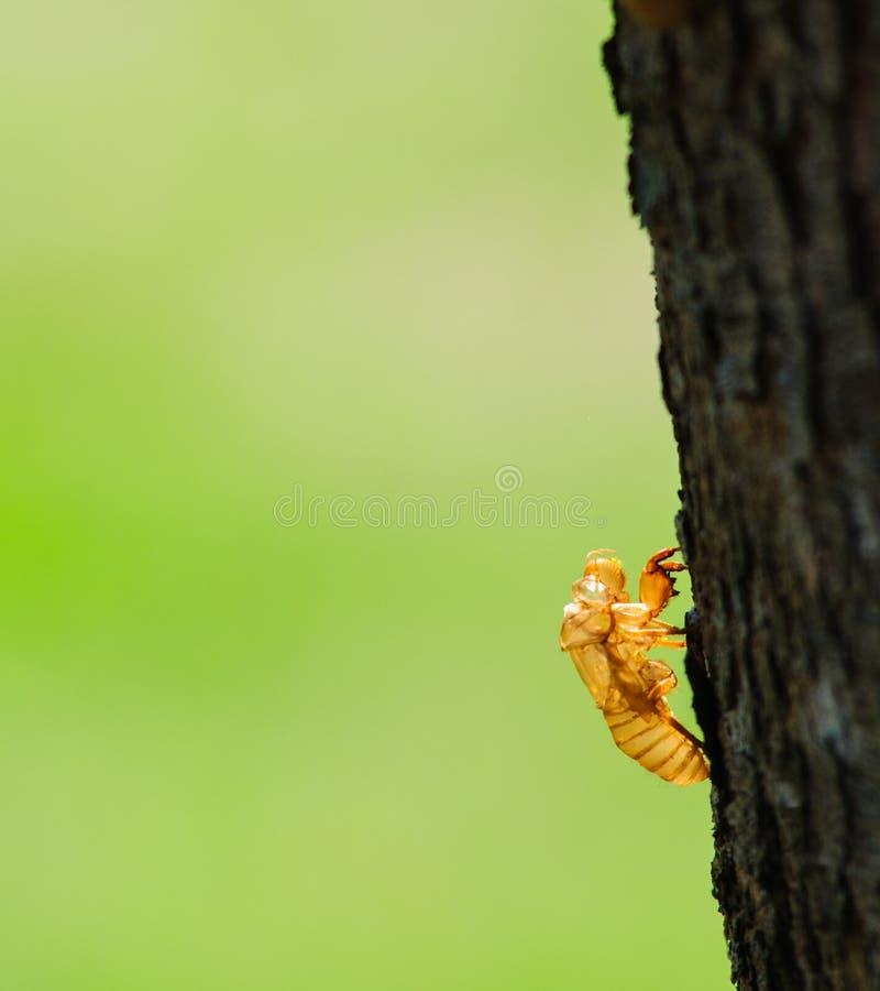 Esoscheletro della cicala fotografia stock