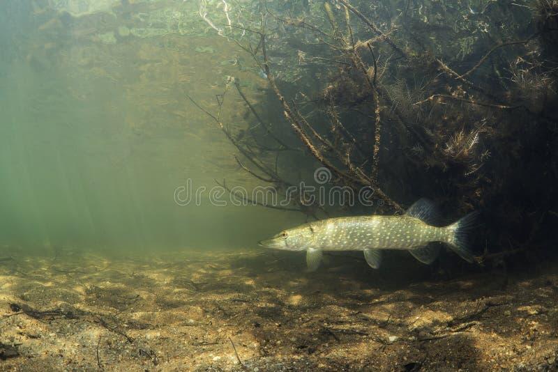 Esox för nordlig pik för sötvattensfisk lucius i det härliga rena pundet royaltyfri bild