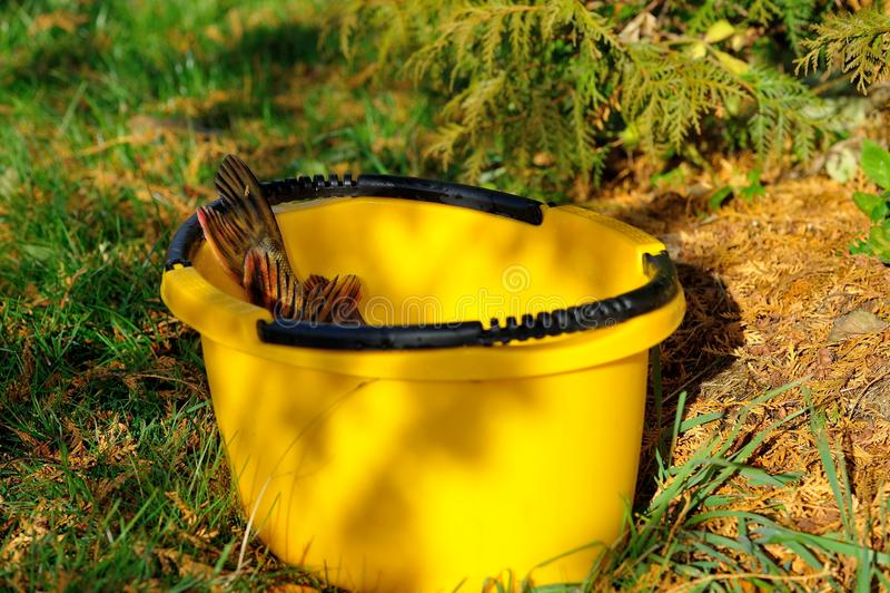 Esox lucius στον κίτρινο κάδο στοκ εικόνες με δικαίωμα ελεύθερης χρήσης