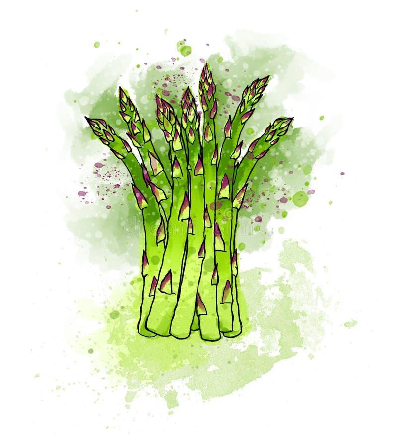 Espárrago fresco verde colorido dibujado mano Acuarelas, vagos blancos ilustración del vector