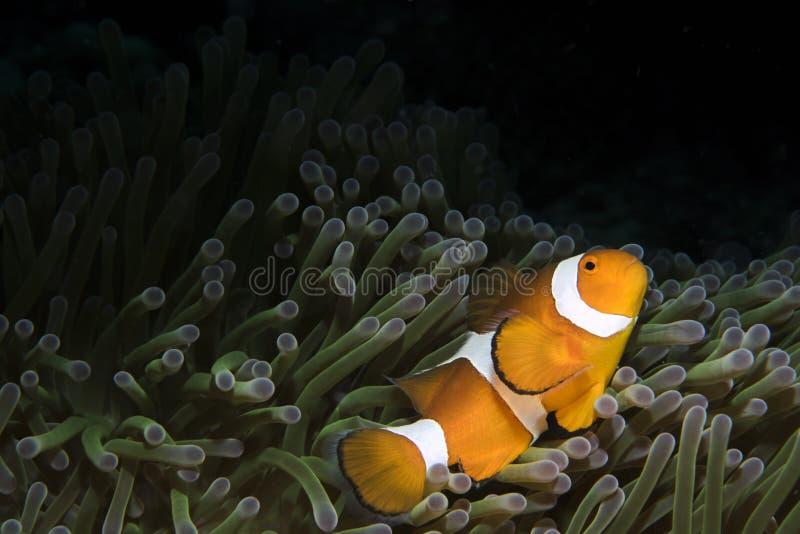 Espèce marine de Clownfish sur le fond foncé photographie stock
