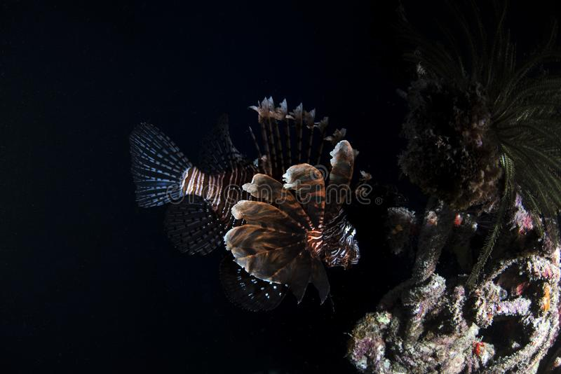 Espèce marine de Lionfish sur le fond noir image libre de droits