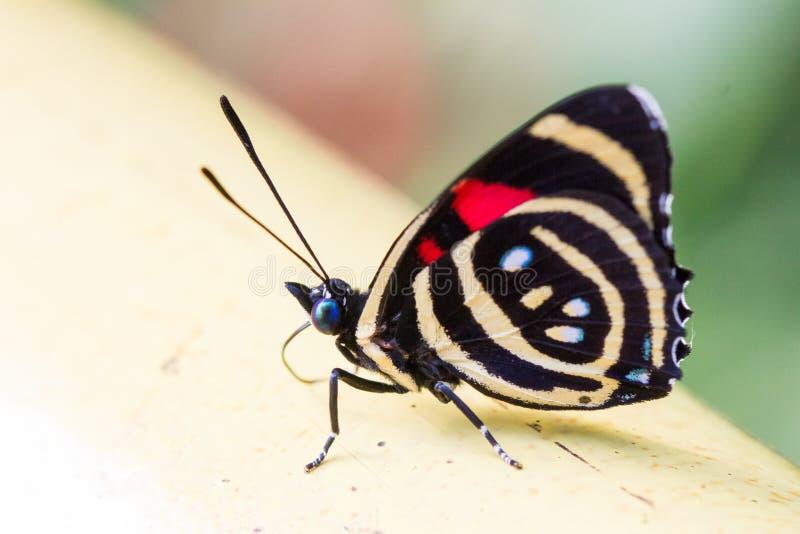 Espèces colorées de Catagramma de papillon images stock